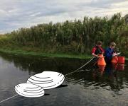 Findes der levende eksemplarer af den tykskallede musling i Susåen?