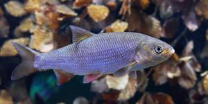 Undervandsfoto af en Rimte - Leuciscus idus