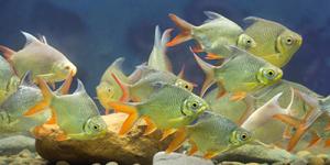 Undervandsfoto af Skaller - Rutilus rutilus