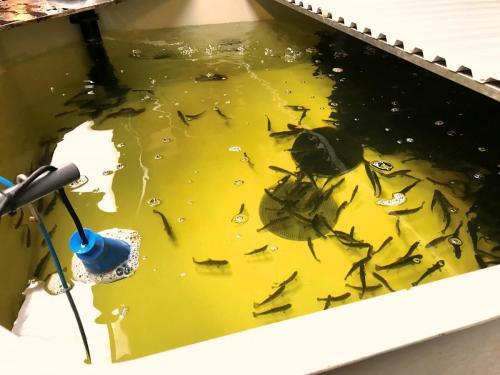 Elritse opdræt i bassin