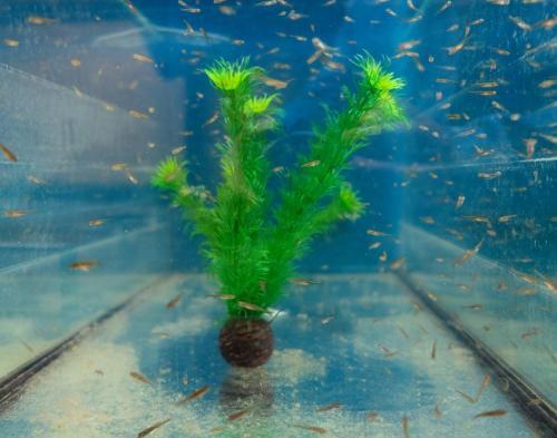 Elritse opdræt i akvarium